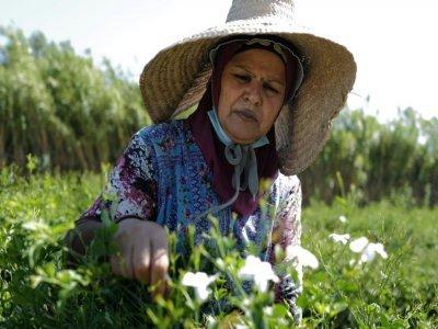 Une travailleuse agricole cueille des fleurs de jasmin destinées à la production du parfum N°5 de Chanel, le 26 août 2021 à Pégomas, dans les Alpes-Maritimes    Valery HACHE [AFP]
