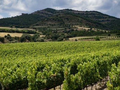 Le vignoble Torres, le 27 juillet 2021 à Tremp, près de Lleida, dans le piémont pyrénéen    Josep LAGO [AFP/Archives]
