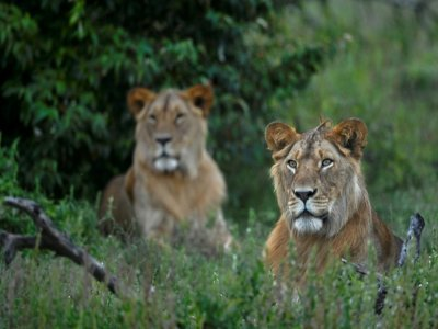 Un recensement en 2014 a calculé que la population globale des lions avait chuté de 43% en 21 ans    Tony Karumba [AFP/Archives]