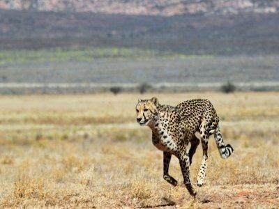 la population totale de guépards est estimée avoir baissé de quelque 30% en 15 ans    CHRISTOPHE BEAUDUFE [AFP/Archives]