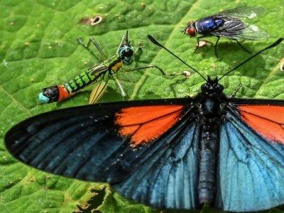 Un papillon Altinote ozoneme à Jardin, en Colombie, le 21 août 2021    JOAQUIN SARMIENTO [AFP]