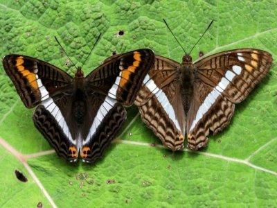Des papillons Adelpha corcyra and an Adelpha alala à Jardin, en Colombie, le 21 août 2021    JOAQUIN SARMIENTO [AFP]