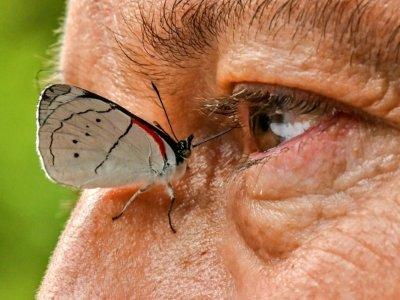 Un papillon se pose près de l'oeil du photographe colombien Juan Guillermo Jaramillo, le 19 août 2021 à Jardin, en Colombie    JOAQUIN SARMIENTO [AFP]