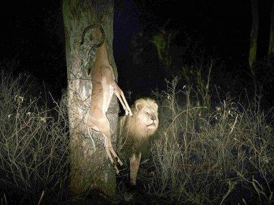 Un lion approche la carcasse d'un impala, dans la réserve de Balule le 30 août 2021    LUCA SOLA [AFP]