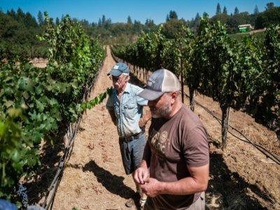 Randy Dunn et son fils Mike inspectent leurs vignes à 2 semaines du début de la récolte, espérant qu'un nouvel incendie ne viendra pas ruiner la récolte comme en 2020    Nick Otto [AFP]