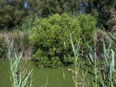 Un arbuste baccharis, une plante invasive, au Domaine des Grandes cabannes du Vaccarès sud, le 8 septembre 2021 aux Saintes-Marie-de-la-Mer - Christophe SIMON [AFP]