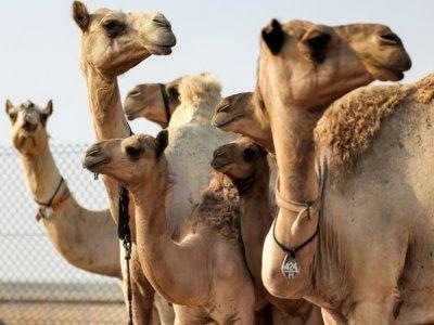 Des chameaux clonés dans un enclos du Centre de reproduction biotechnologique de Dubaï, le 4 juin 2021 aux Emirats arabes unis    Karim SAHIB [AFP]
