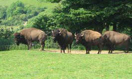 Des bisons en Normandie